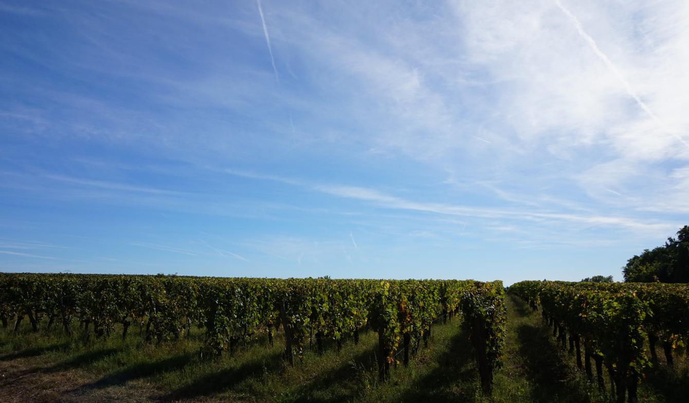 Vineyard Saint-Emilion
