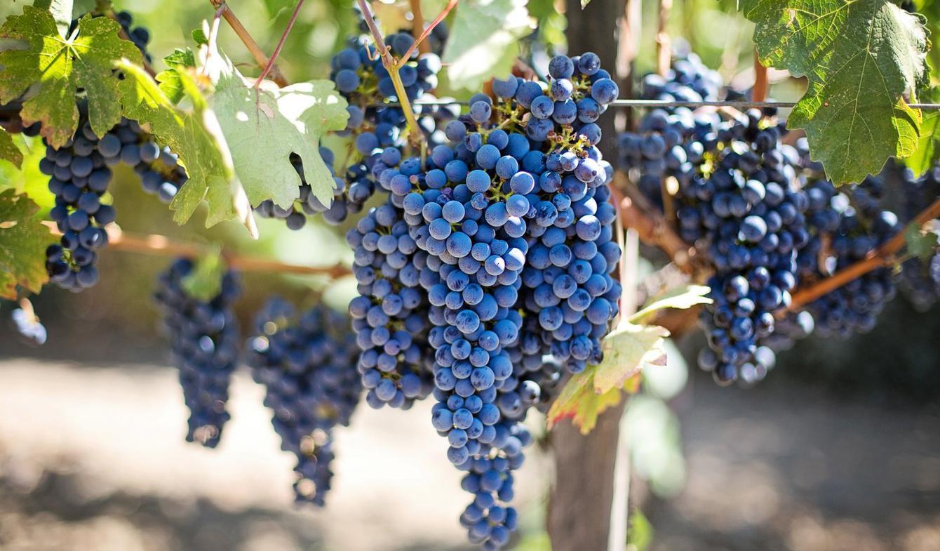 Vineyard Évora District